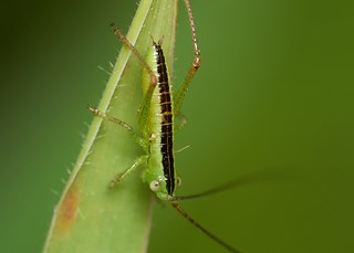 early instar long-winged conehead nymph (Conocephalus fuscus)