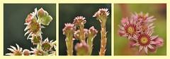 mit aller Kraft (nirak68) Tags: deutschland blossom sommer balkon crassulaceae lbeck sempervivum blten ger hauswurz houseleeks dickblattgewchs 181366 schleswigholsteinkreisfreiehansestadtlbeck 2016ckarinslinsede