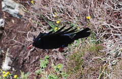 Chough at South Stack (OMG285) Tags: bird island wildlife south stack holy mon crow chough anglesey holyhead ynys