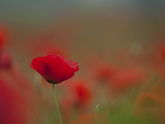 Sorti des flots * (Titole) Tags: poppies red shallowdof bokeh titole nicolefaton friendlychallenges