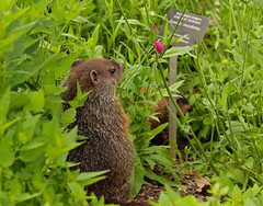 Reading the Menu (Slow Turning) Tags: summer garden rodent pups young woodchuck groundhog kits marmot immature juvenile southernontario whistlepig marmotamonax