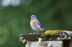 Male Western Bluebird (Sialia mexicana) DDZ_4921 (NDomer73) Tags: bird june bluebird thrush champoeg 2016 westernbluebird champoegstatepark champoegstateheritagearea 11june2016