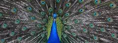 peacock pano (**MIKA**) Tags: pano peacock schloss potsdam pfaueninsel pfau peacockisland stiftung spsg preusen