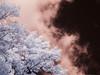 Smoking Leaves (patrickjgray7) Tags: clouds digital infrared lightroom lifepixel olympusep1