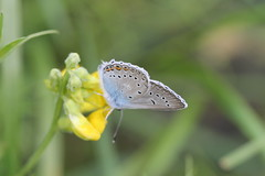 Silverblvinge 'Polyommatus amandus' (P upptcktsfrd i naturen) Tags: fjril fjrilar blberga juni 2016 silverblvinge polyommatusamandus ktadagfjrilar papilionoidea juvelvingar lycaenidae polyommatinae polyommatini blvingar polyommatus