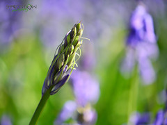 Single Bluebell (Sharon Dow - Arm Op 16th May = No Photography :'-() Tags: uk flowers blue trees england plants nature bluebells woodland sussex woods nikon westsussex britain wildlife south british bluebellwoods childhoodmemories southernengland goosegreen pulborough hyacinthoides 2013 hyacinthoidesnonscripta scillanonscripta thakeham nonscripta endymionnonscriptus singlebluebell d3100 bulbousperennialplant sharondowphotography sharondow