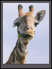 Give's a kiss! (Rainbirder) Tags: kenya giraffacamelopardalistippelskirchi masaigiraffe tsavowest rainbirder