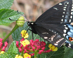 Little Miss Swallowtail on the lantana (Vicki's Nature) Tags: new black macro female yard canon butterfly georgia hand fresh immature lantana s5 ready2 blackswallowtail 7984 touchofred touchofblue vickisnature touchofwhite faves19