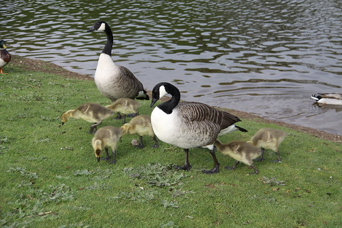 Pair of Canada Geese with 7 Goslings (11)