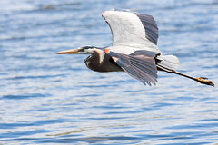 Blue Heron (judd.furlong) Tags: