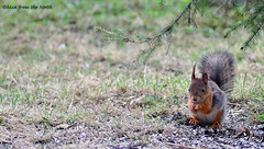 The squirrel (Sciurus vulgaris) (Man from the North) Tags: animal finland mammal spring furry squirrel may sunflowerseeds arcipelago ostrobothnia