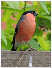 Bullfinch 14 (Magic Moments by Pippa) Tags: nature birds wildlife finches british bullfinch