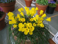 AGS show at St Luke's Exeter, with Narcissus bulbocodium,  31st March 2012 (jrcollman) Tags: plants events archived importedtags narcissusbulbocodium nplant jeffs13thmarchto3rdapril2012 alpinegardenersshow