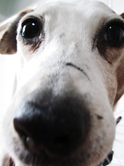 Old Girlie (PaintpotsandDaydreams) Tags: parsonrussellterrier