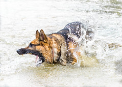 Branko Swims 2013-06-07-6 (falon_167) Tags: dog shepherd german gsd germanshepherddog branko