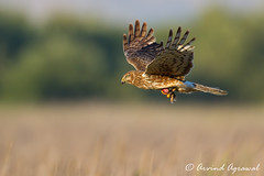 Northern Harrier - IMG_8318 (arvind agrawal) Tags: