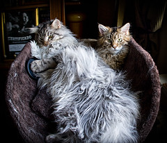 (AK-72) Tags: cats stitch mainecoon hdr fenia canoneos400d