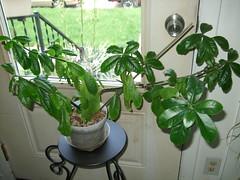 Perskia (hopefulauthor) Tags: plant flowering pereskia rosecactussucculent