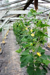All in a row... (tiger289 (The d'Arcy dog supporters club)) Tags: plants chickens gourds vegetables fruit beans vines chili bees tomatoes orchard honey cabbage eggs peas peppers melon tractors greenhouses hothouse pumkin bittermelon mowers rhodeislandred bokchoy pakchoy beehives pollination pollinators workerbees