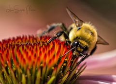 Here's Lookin' At Ya (LanaScape Photos) Tags: macro huntington indiana bee bumble finally persistence macromarvels anexerciseinfrustration
