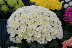 Chrysanthemum Delianne White (JRH70) Tags: flowers garden cheshire sony chrysanthemum flowershow rhs royalhorticulturalsociety nex tattonpark 2013 sonynex5