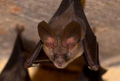 Slit-faced Bats at Nyahokwe toilets (zimbart) Tags: africa zimbabwe mammals bats nyanga chiroptera nycteris nycteridae nyahokweruins