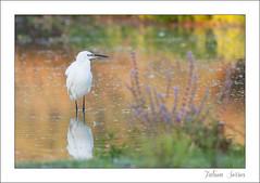 Aigrette garzette (Fabien Serres) Tags: aigrettegarzette ardéidés egrettagarzetta littleegret oiseau pélécaniformes bird