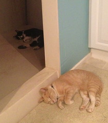 Dueling nappers (grrlscout224) Tags: cats funny tabby luke cream tuxedo buff ridiculous roscoe