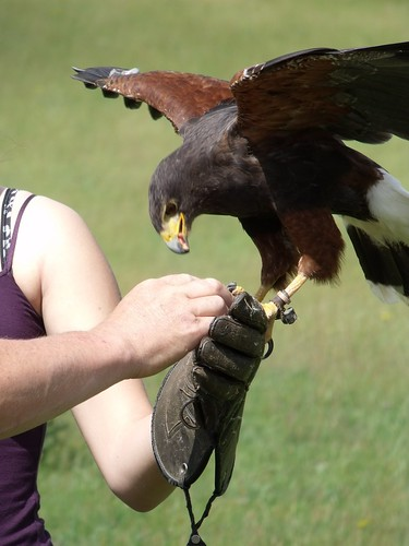 Hamish the Harris Hawk