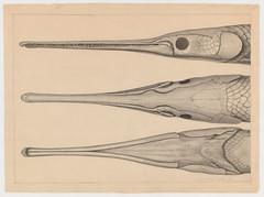 Three needlefish heads (Cambridge, Mass., 1849) (The Ernst Mayr Library) Tags: fish cambridgemass needlefish belonidae jacquesburkhardt beloniformes taxonomy:family=belonidae taxonomy:order=beloniformes scientificdrawings taxonomy:common=needlefish
