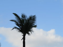 1IMG_9298 COCONUT TREE TRYING TO TOUCH THE SKY IN GOA INDIA (Rajeev India (THANKS for views, comments n faves)) Tags: sky india tree coconut touch goa trying to the in