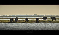 Bufalos (Syncerus caffer). Chobe National Park (Jess Gabn) Tags: buffalo botswana chobe synceruscaffer bfalo botsuana jesusgaban