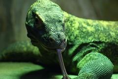 Struggling with focus (Jaedde & Sis) Tags: green tongue reptile komododragon gamewinner varanuskomodoensis a3b komodovaran friendlychallenges challengefactorywinner thechallengefactory pregamesweepwinner