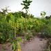 Plantation_ete_2013_jatropha_eucalyptus