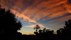 Halloween Sunrise (Jim Mullhaupt) Tags: morning pink blue red wallpaper color tree halloween yellow pine sunrise dawn flickr florida bradenton mullhaupt jimmullhaupt