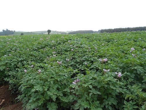 Certified seed potato field, Molo region