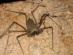 Wolf Scorpion (Wanderglobe's Photos) Tags: scorpionspider