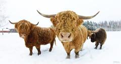 Highlander (>>Marko<<) Tags: animal canon suomi finland cow cattle country highlander eläin savonlinna lehmä nauta maaseutu maatalous valokuvaus impressedbeauty