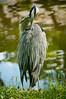 Grey Heron Preen