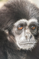 Lar Gibbon (salix_flick) Tags: animals japan zoo nikon kyoto   nikkor   d600