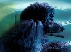 Underwater Fantasy (Midnight and me) Tags: portrait beauty profile fantasy poodle midnight ringostarr standardpoodle aquacolors octopusgarden waterportrait blackstandardpoodle thelittledoglaughed underwaterfantasy midnightportrait midnightandme thelittledoglaughedportraits daydreamingpoodle underwaterwhiledry midnightsprofile gorgeousstandardpoodle