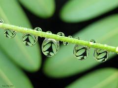 Nature Reflected (Tony Dias 7) Tags: water de drops agua gotas droptlets