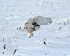 Snowy Owl in Illinois (tguttilla) Tags: winter snow illinois owl artic snowyowl