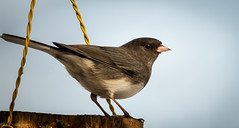 Handsome Junco (Rick Smother