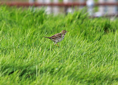 Meadow Pipit (Trev Earl) Tags: bird nature canon wildlife buckinghamshire mallard meadowpipit 50d lserieslens princessrisborough ilobsterit