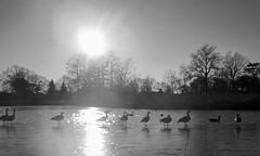 Forest Park. St. Louis. Missouri. (OwensAaron) Tags: sunset blackandwhite ice geese duck dusk stlouis mo missouri stl forestpark