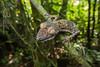 Uroplatus fimbriatus (Rob Schell Photography) Tags: africa island rainforest reptile lizard handheld gecko madagascar nosymangabe forestcanopy uroplatusfimbriatus leaftailedgecko gekkonidae wideanglemacro specanimal