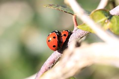 Mating Ladybirds (basil1926) Tags: red insects spots mating ladybirds mygearandme