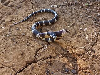 king snake or king cobra?