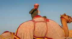 Deserts and Camels 131107 17_10_16 (Renzo Ottaviano) Tags: race al dubai desert united racing course emirates camel arab lorenzo races camels corrida emirate deserts uniti renzo unis arabi carrera corsa emirati unidos camellos chameaux rabes kamelrennen   arabes ottaviano camelos emiratos emirados vereinigte arabische cammelli emiratiarabiuniti mirats     marmoun
